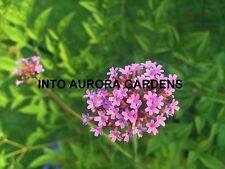 100 Verbena Bonariensis Seeds Purple Flowers Annual