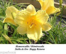 Hemerocallis LEMON Stella de Oro 15 HYBRIDE DAYLILY HAPPY RETURN RÉPÉTION PISCIN