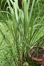 Eine selten Duft-und Zierpflanze das wohl duftende Zitronengras.