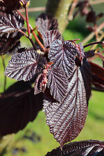 Corylus maxima Purpurea / Purple-leaved Filbert,2-3ft Tall Strong Hazelnut Plant
