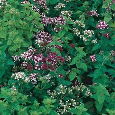 Italian Oregano - 100 seeds!  Great for pizzal! COMB. S/H! See our store!
