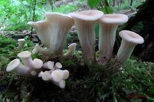 Pleurotus cornucopiae (Oyster) Mushroom / Mycelium Spores Spawn Dried Seeds