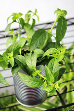 50 Peppermint Seeds Mentha Piperita Pepper Mint Herbs Organic