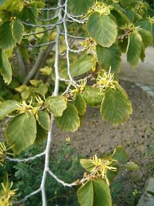 Witch Hazel.  Hamamelis Virginiana  10 Seeds Great for insect bites and wounds.