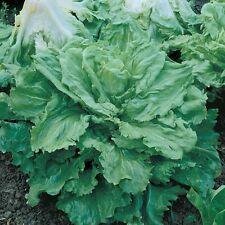 3000 Heirloom Broadleaf Batavian Endive Seeds Escarole - COMB S/H