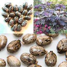 Organic Castor Plant Seeds - Fresh Grow a beautiful tropical plant - Mole Beans