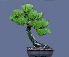 Pinus Elliottii Tree Shrub Seeds, Slash Pine, Bonsai, Evergreen, (5nos) T-040