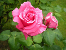 Pink Rose Seeds, Double Flower - (10seeds)   F-151