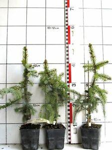Picea omorika PENDULA ,  Serbische Fichte - seltene Hängeform !