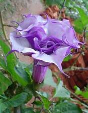 DOUBLE PURPLE DATURA METEL - BRUGMANSIA, 10 SEMI