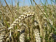 Organic Soft White Winter Wheat Non-GMO Heirloom Cereal Grain Crop - ½oz Seeds