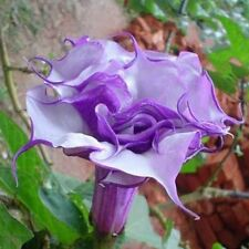 Corrugated Double Morning Glory 10 Seeds Heirloom Garden plant Climbing Flowers
