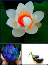 Bonsai Lotus Seeds Combo Pack: Blue Moon, Red Heart Lotus Seeds, Rare Collection