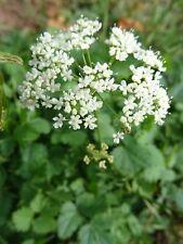Pimpinella Saxifraga pequeña bibernelle sobre 200 semillas