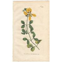 Curtis antique 1st ed 1797 hand-colored engraving Pl 372 Unpleasant Bean-Caper