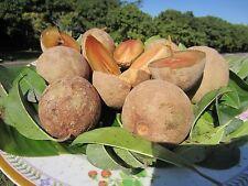 """36"""" FLORIDA Sapote Manilkara Zapota Sapodilla zapote Nispero Fruit Plant"""