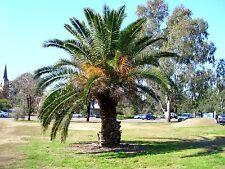 PHOENIX CANARIENSIS - Canary Island Date Palm Tree - 10 Seeds - Hardy Tropical