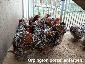 10 gemischte Bruteier GETRENNT gehaltener Rassehühner z.B. Marans Orpington