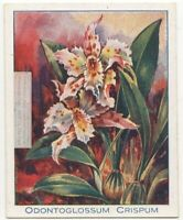 Curled Odontoglossum Orchid Odontoglossum crispum 90+ Y/O Trade Ad Card