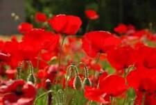RED POPPY, 500 SEEDS, ORGANIC, WORLDS MOST POPULAR FLOWER, STUNNING RED POPPIES