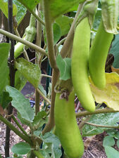 Thai GREEN Eggplant - Delicious & High Yield - 30 Seeds
