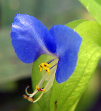 Spiderwort Day Lily Blue Flower - Commelina Wandering Jew Plant - 5x Cutting