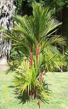 die wunderschöne Siegel-Lack-Palme hat einen markanten roten Stamm !