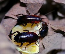 African Bullet Roaches Blattidae sp, Fast Breeding, Great Feeding Free Shipping!