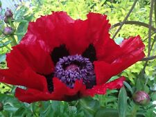 Papaver orientale Beauty of Livermere X 6  Plug Plants Hardy Perennial poppy