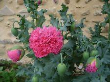 PAVOT SOMNIFERE DOUBLE PIVOINE ROSE Papaver Paeoniflorum SOMNIFERUM 250 graines