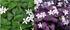 4 x mixed Oxalis Triangularis bulbs. 2 x purple & 2 x green.