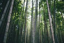 25 Semi di Bambù Bamboo Gigante,Phyllostachys Pubescens Moso,Culmi eduli vegano