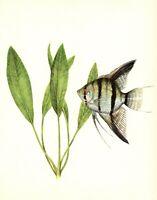 Antique Tropical Aquarium Fish Print Angel Fish Aquarium Fish Art Print 3398-108