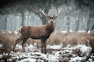 STUNNING SCOTTISH HIGHLAND RED STAG CANVAS #18 QUALITY CANVAS WALL ART A1