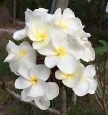"""White Bridal Bouquet Plumeria Plant (Frangipani ) Cutting 8-12 """" Cut Fresh"""