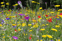 New 100% Pure Wildflower Seed Bee Butterfly Premium Mix Annual Meadow Plants 12g