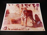 KGgallery LION TIGERS & CHEETAH COLOR original Photo VINTAGE 8x10 LOT 4 CATS