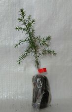 Kashmir Cypress, Cupressus Cashmeriana  Conifer Tree Seedling Plug Plants.