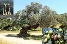 "5 Green Olive ""Barnea"" Tree Cutting"