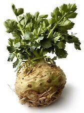 0.5g (approx. 1500) celeriac seeds GIANT PRAGUE Turnip-rooted Celery, Very juicy