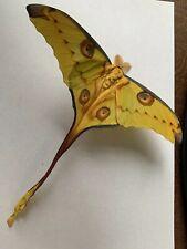 Argema Mittrei Male A1 Papered Specimen Ex Madagascar