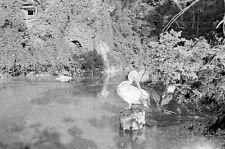 Negativ-Frankfurter-Zoo-Frankfurt-Tiere-Tierpark-Pelikan-1930er Jahre-1930s-9