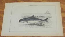 1869 Antique Color Print/Common Porpoise/Hand-Colored