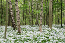 0.2g (appr. 30) ramsons seeds ALLIUM URSINUM wild garlic BEAR'S GARLIC bear leek