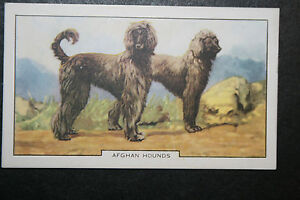 Afghan Hound    1930's Original  Vintage Coloured Card  # VGC