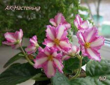 Rus / Ukr African Violet Chimera 'Ak-Nastenka' - Plant in Bud! (Yellow Markings)