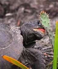 6 Spineless Cactus Food Pads | Organic! Tortoise Turtle Iguana Nopales Opuntia