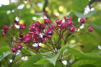 ** Losbaum ist einmalig interessante Zierpflanze Gartenbaum winterhart.