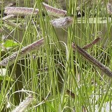 1/4 Lb Blue Grama Native Grass Seeds - Everwilde Farms Mylar Seed Packet