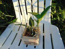 "Cattleya loddigesii 'Aranda' Am/Aos Nbs 4"" wood slat basket Nice Species"